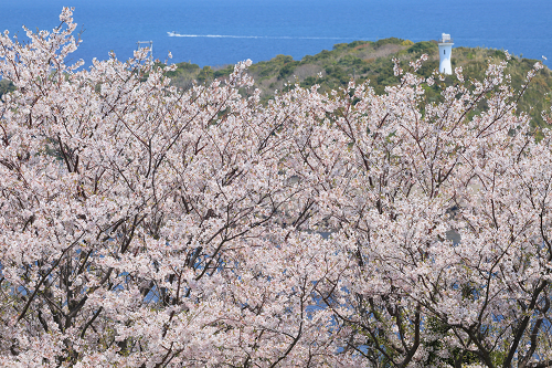 作品名:島桜
